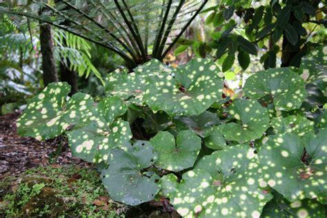 filefarfugium japonicum cv aureo maculatajpg