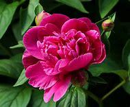 Peonies Flowers Plants