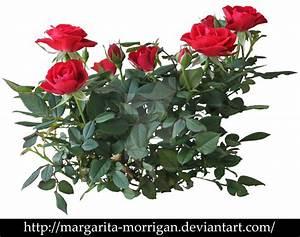 shrub roses by margarita-morrigan on DeviantArt