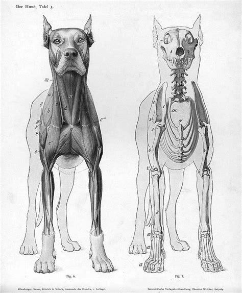 filedog anatomy anterior viewjpg wikimedia commons