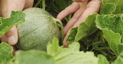 was kann in ein gewächshaus pflanzen melonen im gew 228 chshaus anbauen garten melonen anbauen garten und garten pflanzen