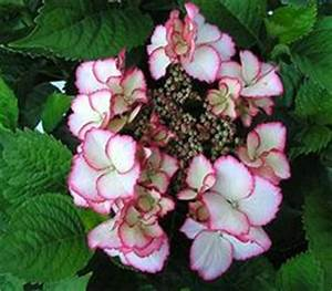 Hortensie Wims Red : 1000 images about hortensien on pinterest hydrangea ~ Michelbontemps.com Haus und Dekorationen