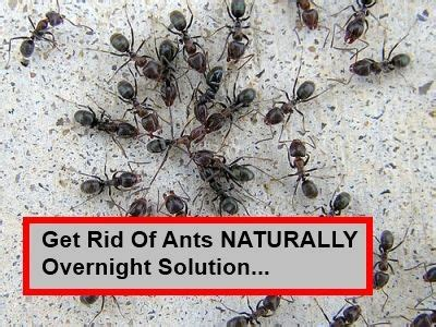 getting rid of ants homemade ant killer recipes 13 ant bite remedies get rid of ants ants and how to get rid