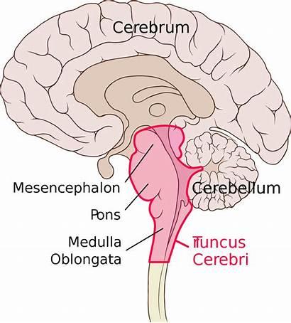 Otak Batang Cerebri Truncus Brain Stem Sagittal