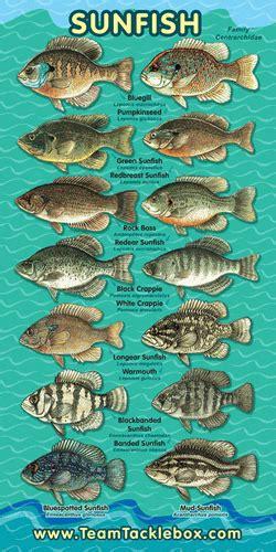 sunfish family banner fishing tips freshwater fish