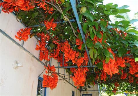 budidaya tanaman hias bunga flame irian merah