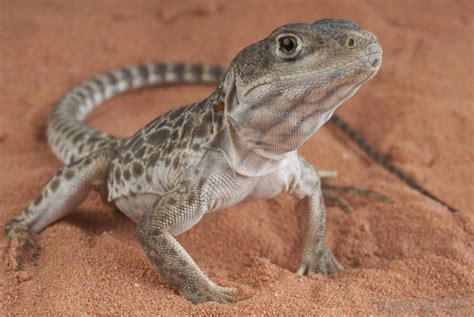 lizard pets how do i choose the best pet lizard with pictures
