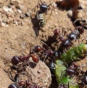 ameisen im rasen vertreiben ameisen im rasen ameisen im With französischer balkon mit mittel gegen marder im garten