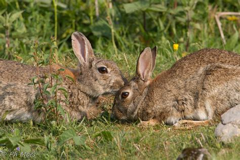 le de chevet lapin lapin de garenne esp 232 ces nuisibles invasives
