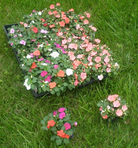 what plants are annuals stringer nursery annual bedding plants
