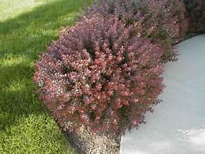 Berberis Thunbergii Atropurpurea Nana : crimson pygmy barberry miller nursery ~ Pilothousefishingboats.com Haus und Dekorationen