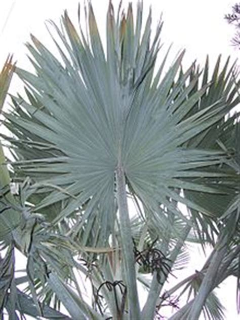 different types of palm plants fan palm