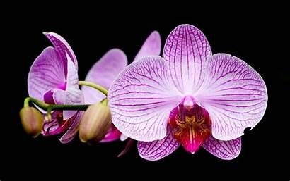 Orchid Desktop Background Flower Wallpapers Flowers Definition