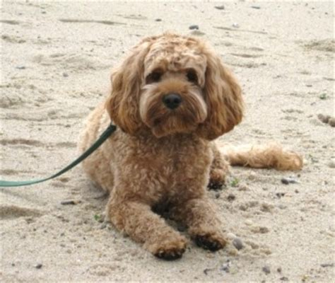 Do Cockapoo Mixes Shed by Do Cockapoos Shed Image Search Results