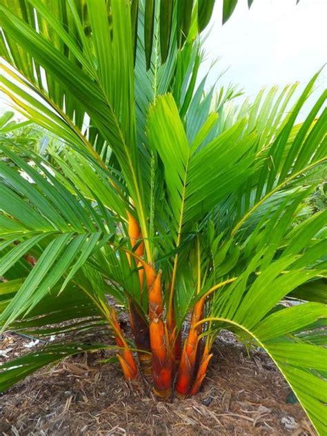 Palmeira Areca Dourada - Muda - Jardim Exótico - O maior ...