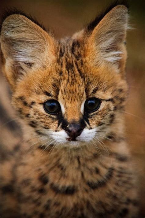 Best 25+ Serval Cats Ideas On Pinterest  African Serval