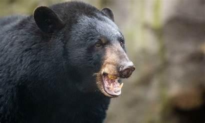 Bear Attacks Garage Attack Honey His Gets