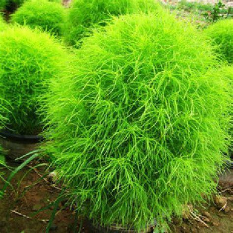buy kochia scoparia grass buy 100 kochia scoparia grass plants seeds bazaargadgets com