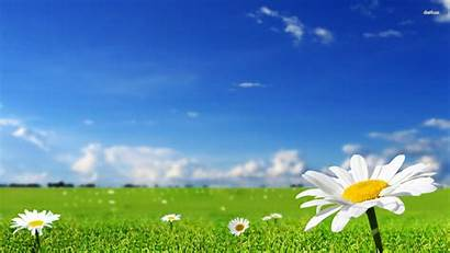 Daisy Daisies Wallpapers Nature
