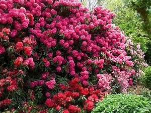 Arbuste Persistant Croissance Rapide : les rhododendrons rhododendron sp ~ Premium-room.com Idées de Décoration
