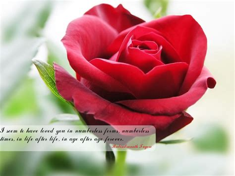 red flower  quotes  love india beautiful red
