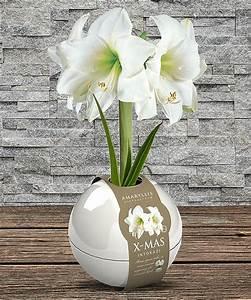 Amaryllis In Wachs : wax amaryllis in wei er pflanz kugel und belgische ~ Lizthompson.info Haus und Dekorationen