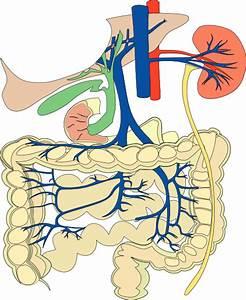 Digestive Organs Medical Diagram Clip Art Free Vector