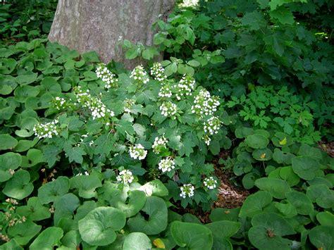 hydrangeas for shade hydrangea quecifolia pee wee carolyn s shade gardens