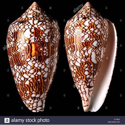 Cone Shell Textile Conus Phillipines Alamy Shopping