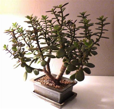 la verte multiplier les succulentes bouturer des crassulas et autres plantes grasses