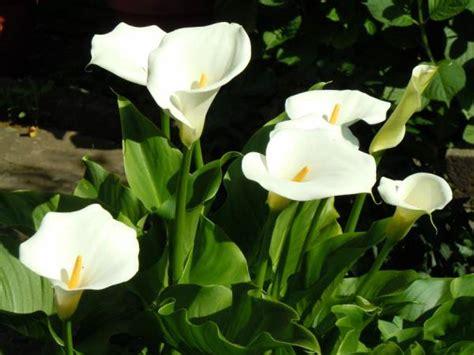 kala lilies kala sobno cvece gajenje i nega cveća pinterest gardens and flowers