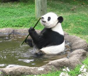 Panda Poop Study Provides Insights Into Microbiome