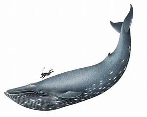 Blue Whale Clip Art | Clipart Panda - Free Clipart Images