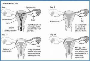 Michelle U0026 39 S Biology     3 10  Menstrual Cycle