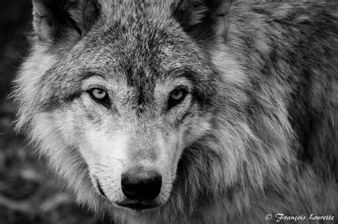 Black And White Wolf Wallpaper by Black And White Wolf 19 Background Hdblackwallpaper