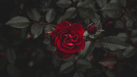 Fonds D'écran Rose Rouge, Obscurité 3840x2160 Uhd 4k Image