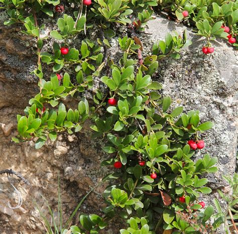 growing  bearberry   home garden