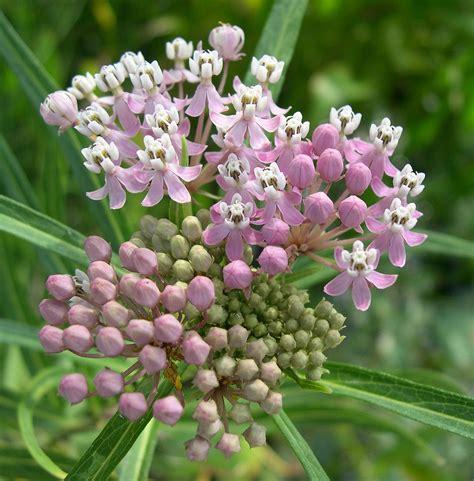 milkweed plants for a few milkweeds 7504