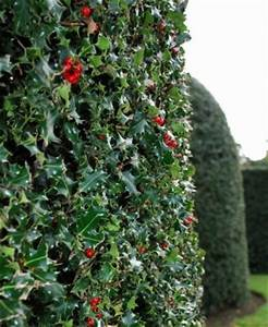 17 Best images about Holly Bushes on Pinterest | Different ...