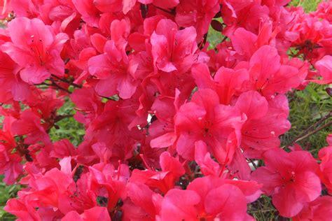 wann pflanzen zurückschneiden rhododendron schneiden 3 schnitte f 252 r den bl 252 tenstrauch
