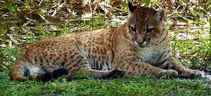 17 Best images about Big Cat Hybrids on Pinterest ...