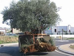 Planter Un Olivier En Pot : quand planter olivier en pleine terre ~ Dailycaller-alerts.com Idées de Décoration