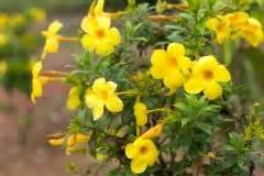 Dipladenia Gelbe Blätter : gummibaum verliert bl tter wo liegen die ursachen ~ Udekor.club Haus und Dekorationen