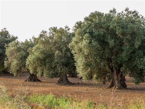 wenn der olivenbaum gelbe bl 228 tter bekommt ursachen und