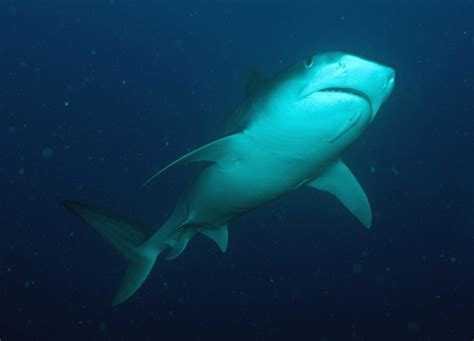sharks  rays  flower garden banks national marine