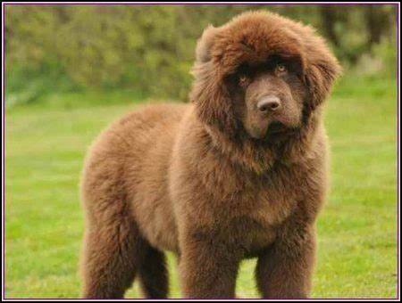 big breeds that don t shed hypoallergenic breeds that don t shed pet