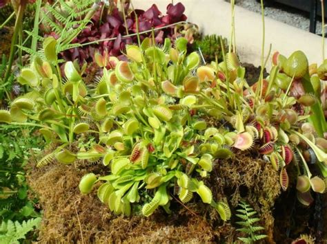 how to take care of venus fly trap the mysterious venus flytrap that kills and digests its prey allrefer