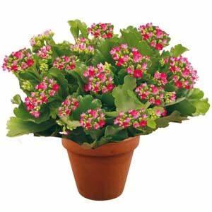 Plante Fleurie Intérieur : petite plante fleurie d int rieur photos de magnolisafleur ~ Premium-room.com Idées de Décoration