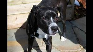 Bowser, an Adorable Lab/Boxer Mix for Adoption or 501(c)(3 ...