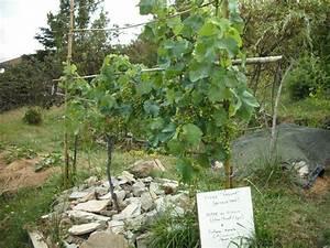 Achat Pied De Vigne Raisin De Table : une vigne raisins au jardin ~ Nature-et-papiers.com Idées de Décoration